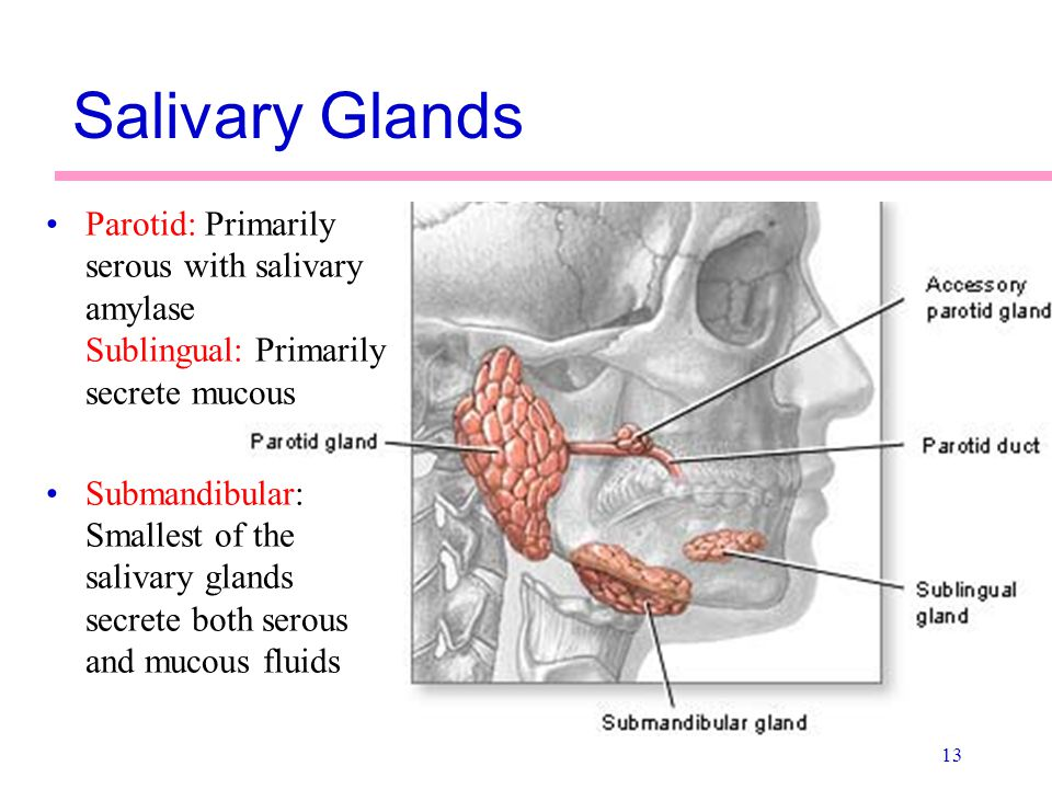 Salivary Glands Parotid: Primarily serous with salivary amylase Sublingual: Primarily secrete mucous.