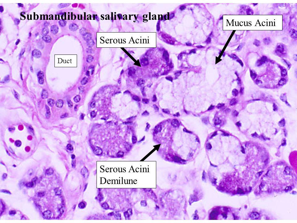 Submandibular salivary gland