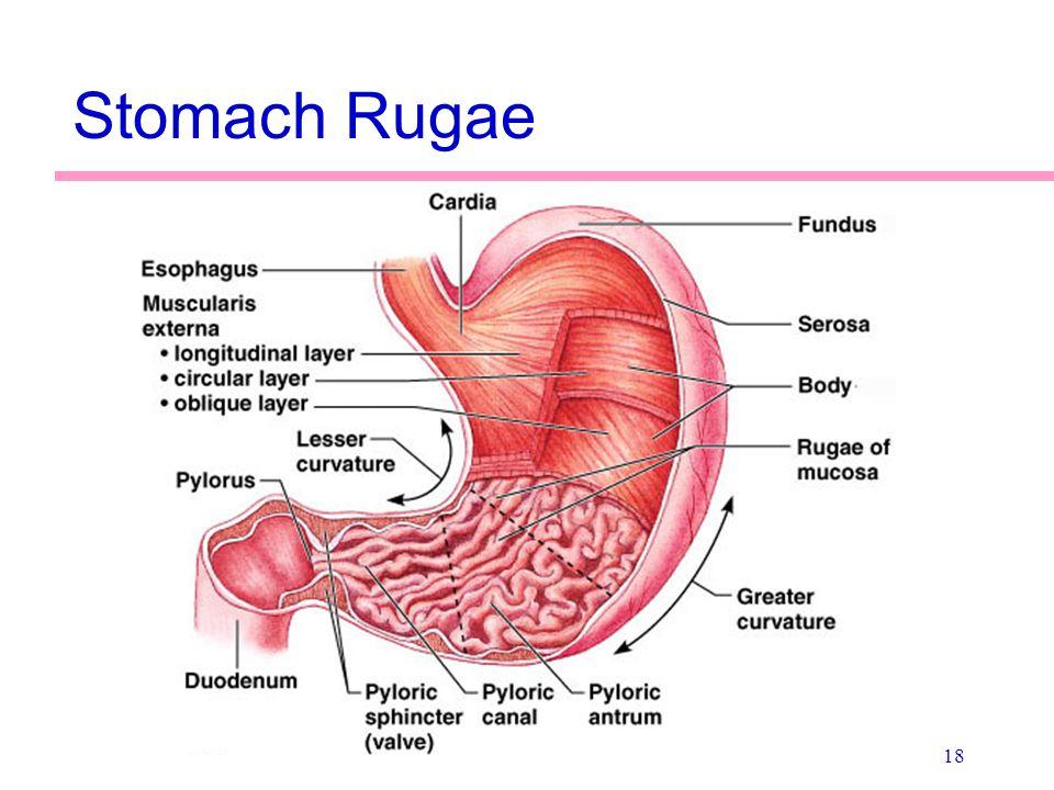 Stomach Rugae