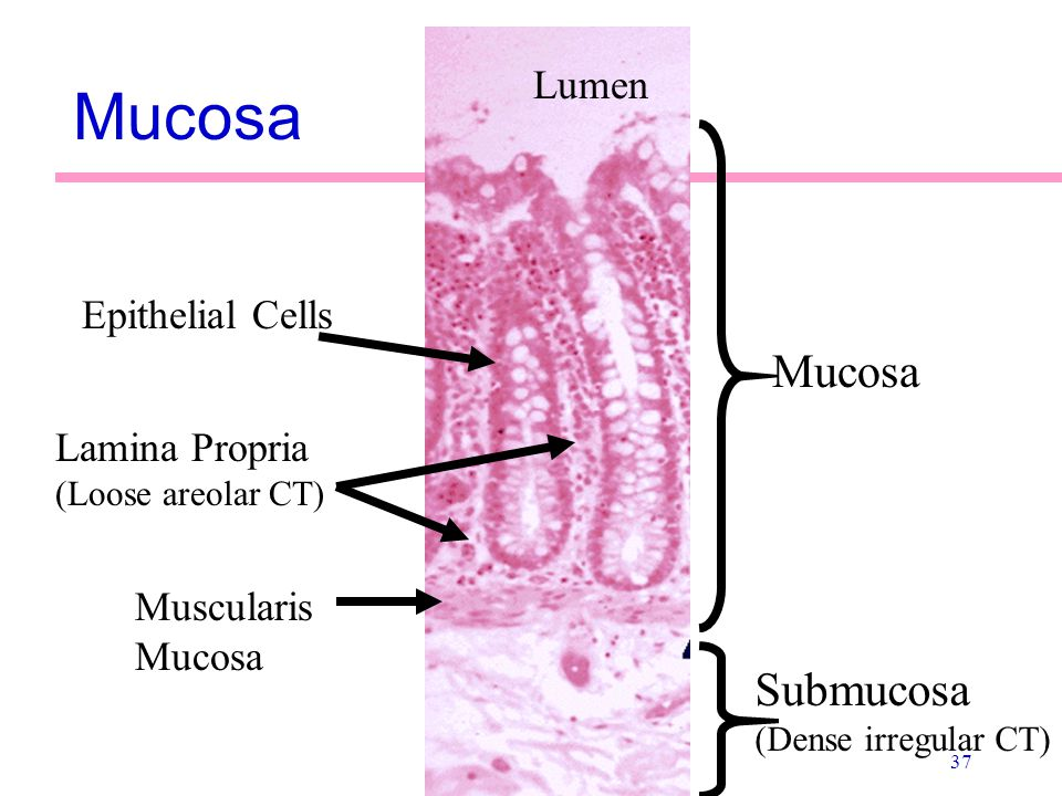 Mucosa Mucosa Submucosa Lumen Epithelial Cells