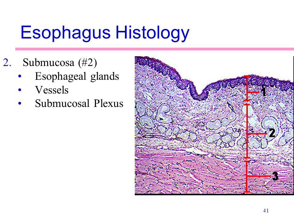 Esophagus Histology Submucosa (#2) Esophageal glands Vessels