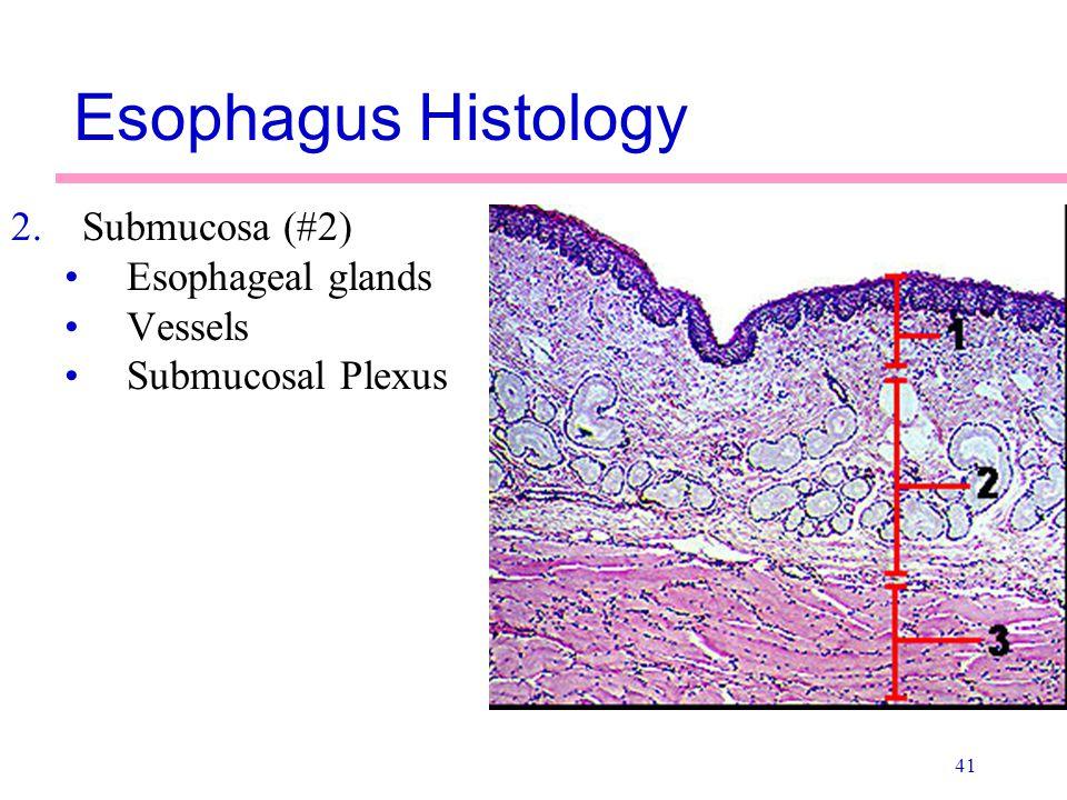 Esophagus Histology Submucosa (#2) Esophageal glands Vessels