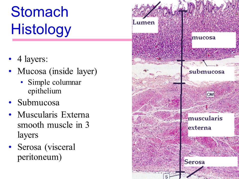 Stomach Histology 4 layers: Mucosa (inside layer) Submucosa