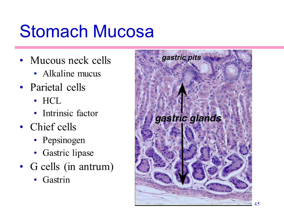 Stomach Mucosa Mucous neck cells Parietal cells Chief cells