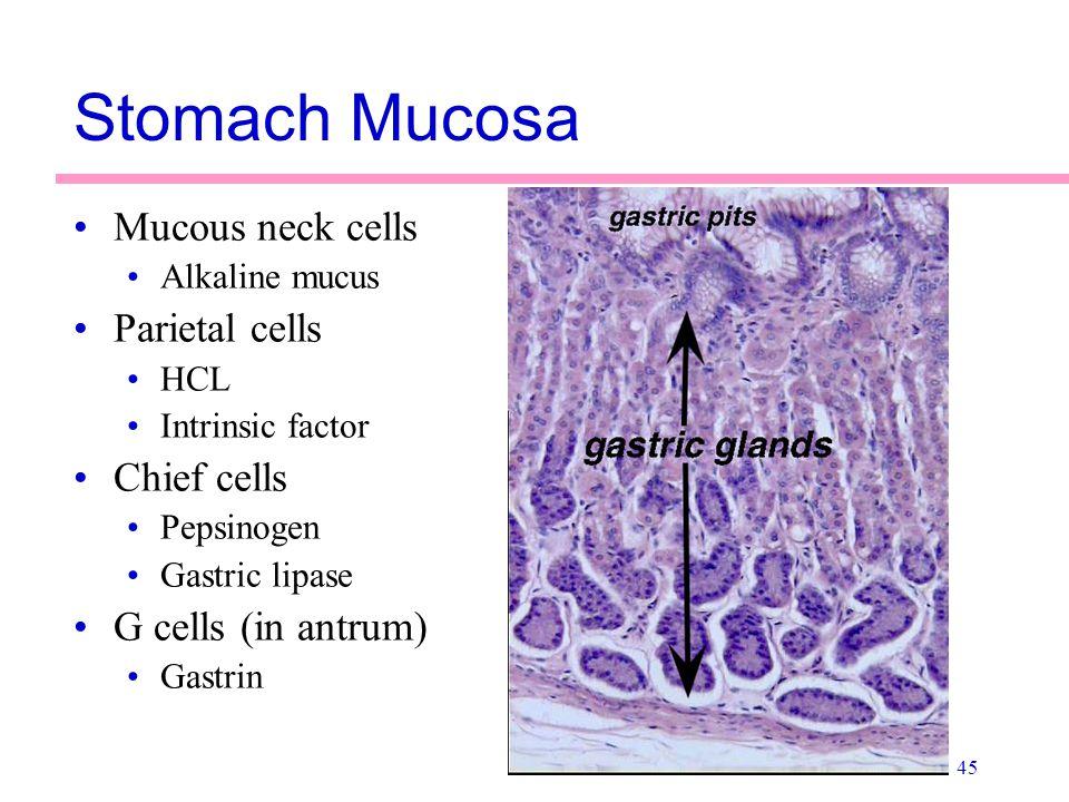 Stomach Mucosa Mucous neck cells Parietal cells Chief cells