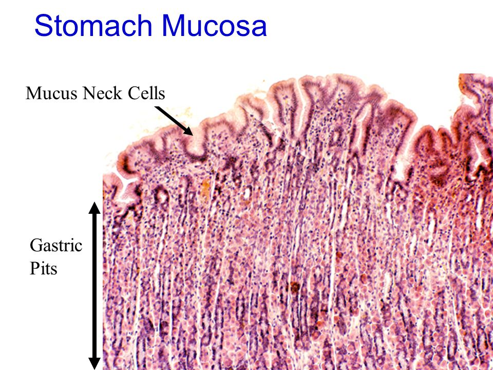 Stomach Mucosa Mucus Neck Cells Gastric Pits