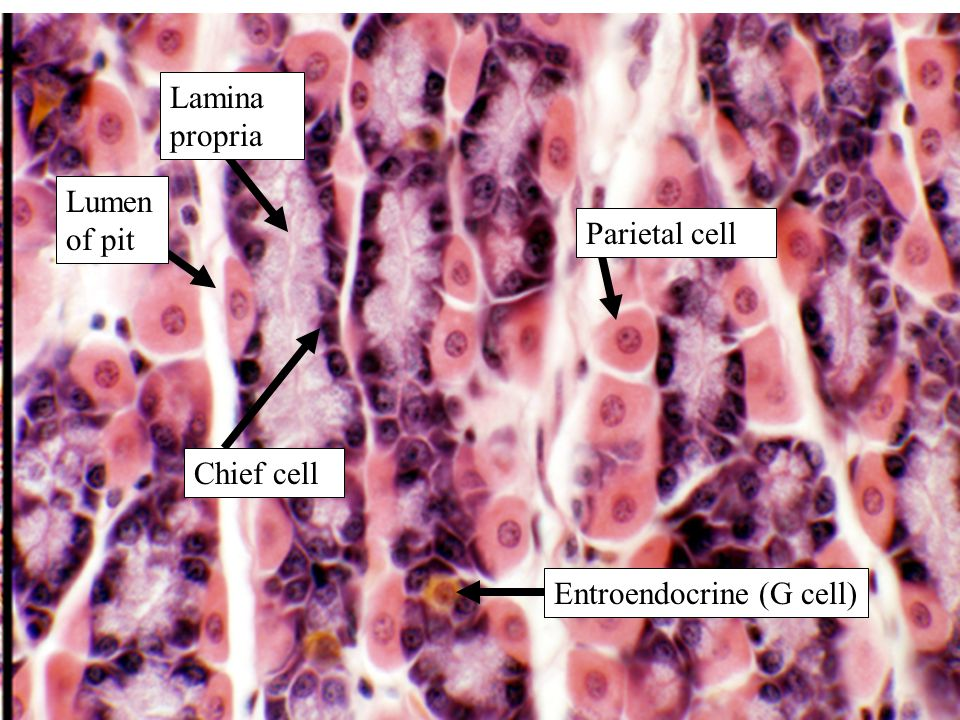 Lamina propria Lumen of pit Parietal cell Chief cell Entroendocrine (G cell)