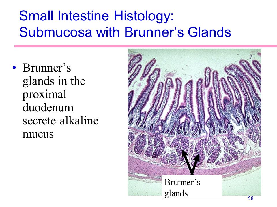 Small Intestine Histology: Submucosa with Brunner's Glands