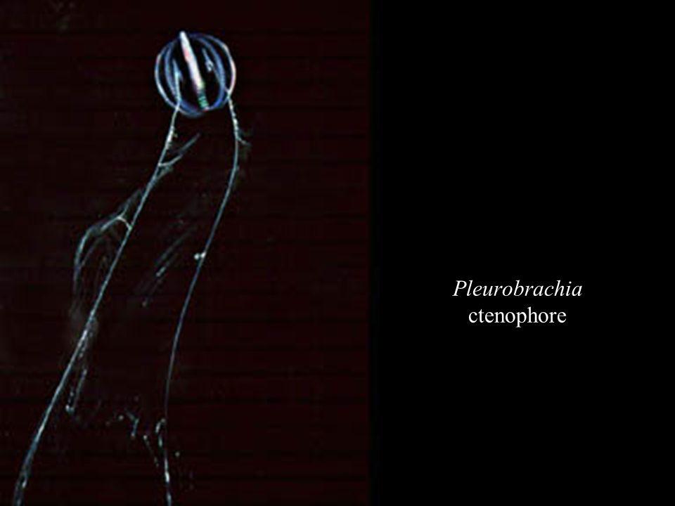 Pleurobrachia ctenophore