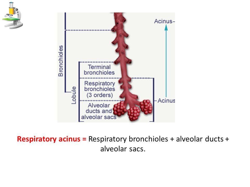 Respiratory acinus = Respiratory bronchioles + alveolar ducts + alveolar sacs.