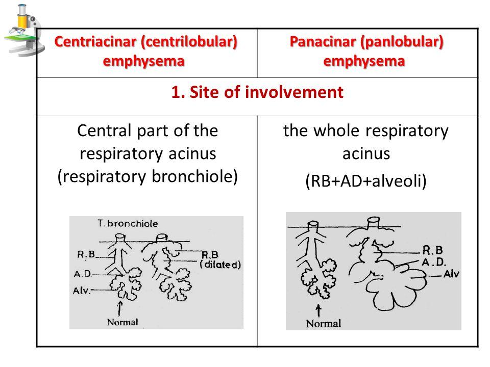 the whole respiratory acinus (RB+AD+alveoli)