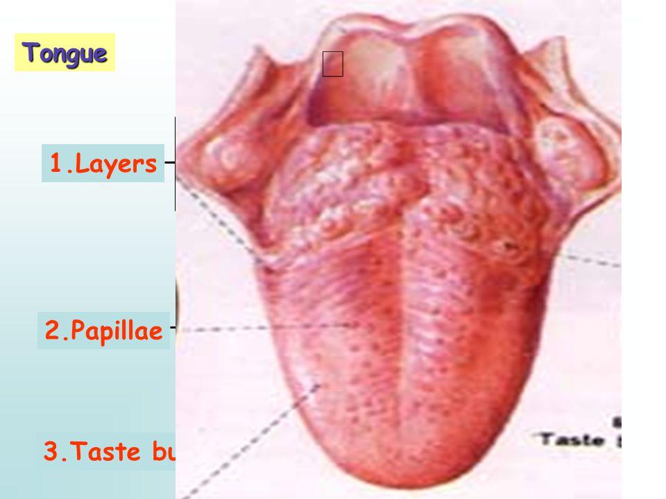 Tongue 1.Layers 2.Papillae 3.Taste bud Skeletal muscle fibers