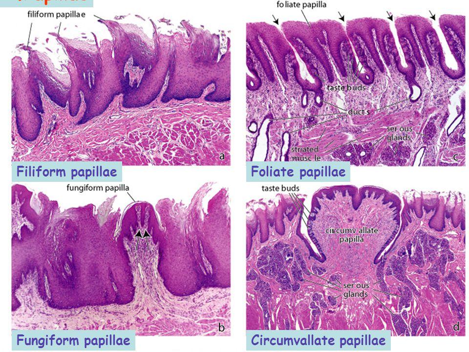 2.Papillae Circumvallate papillae Filiform papillae Fungiform papillae