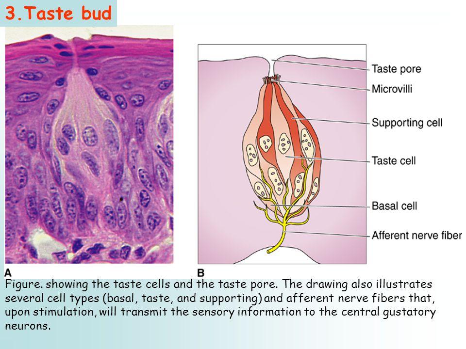 3.Taste bud