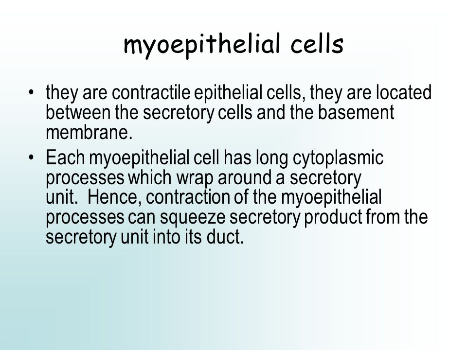 myoepithelial cells they are contractile epithelial cells, they are located between the secretory cells and the basement membrane.