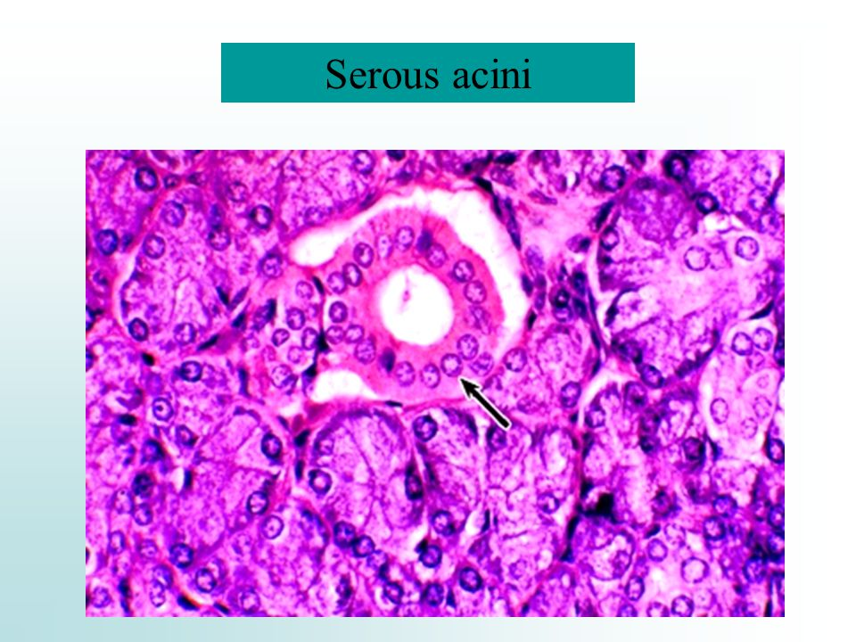 Serous acini