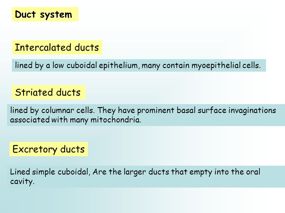 Duct system Intercalated ducts Striated ducts Excretory ducts