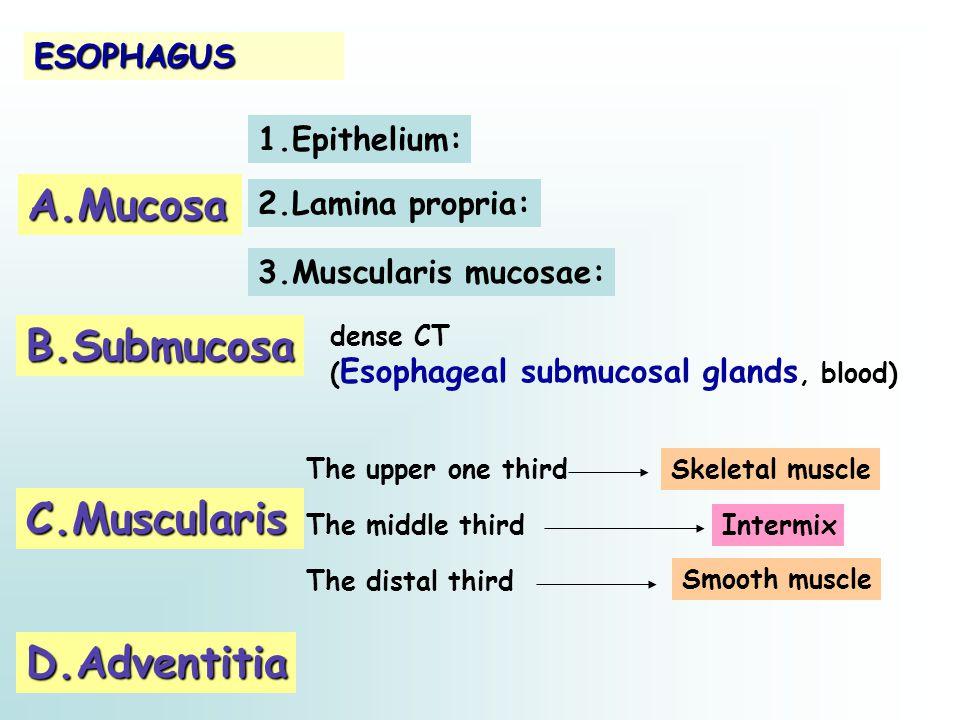 A.Mucosa B.Submucosa C.Muscularis D.Adventitia ESOPHAGUS 1.Epithelium: