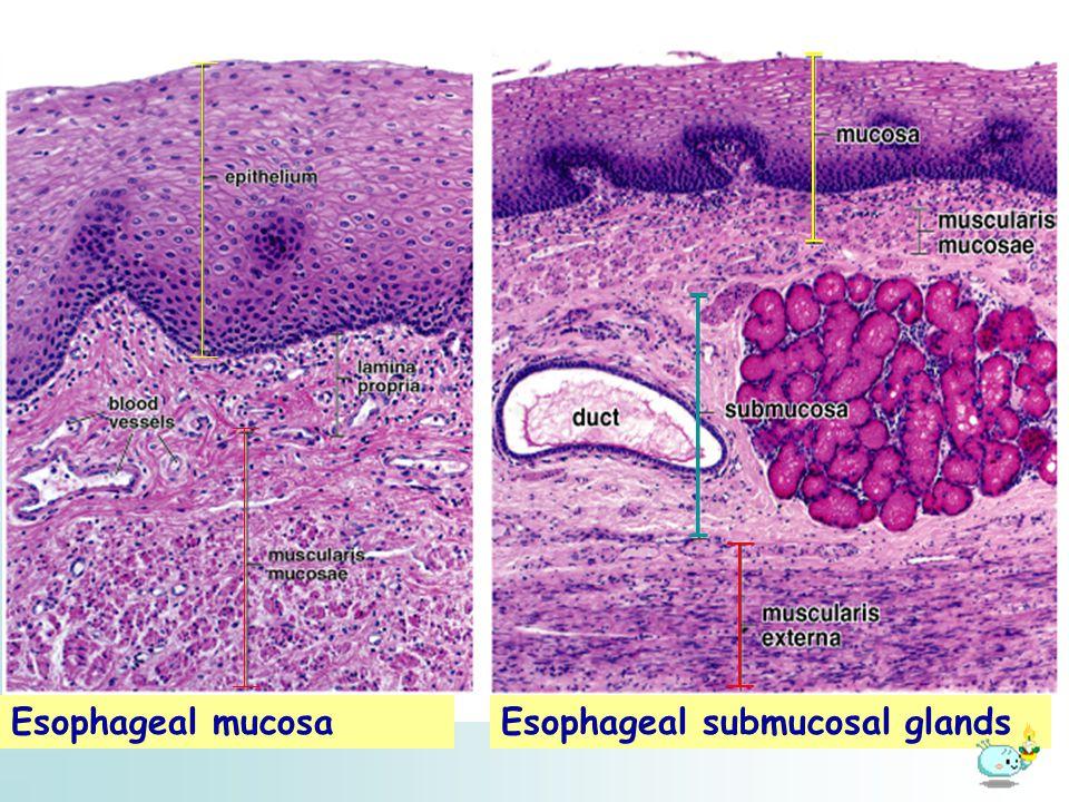 Esophageal mucosa Esophageal submucosal glands