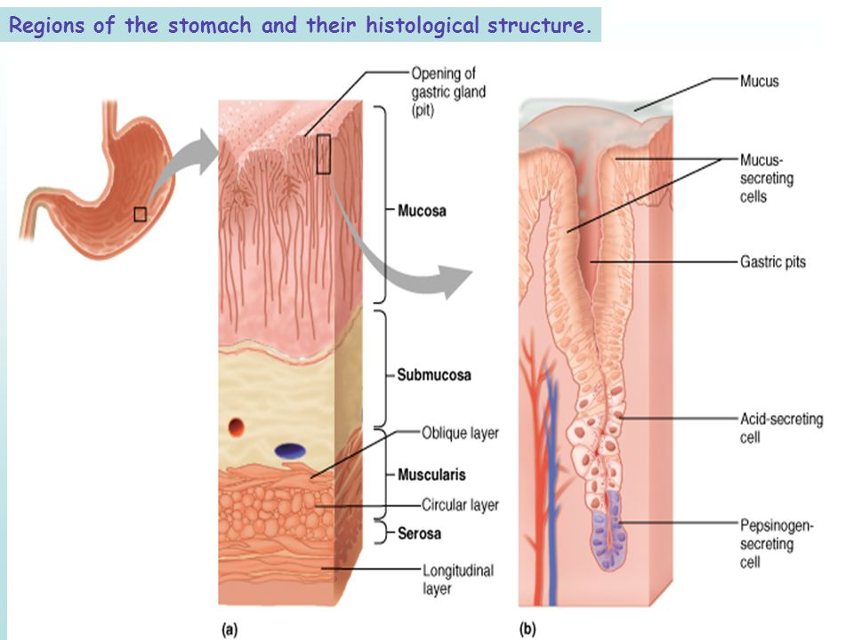 Regions of the stomach and their histological structure.