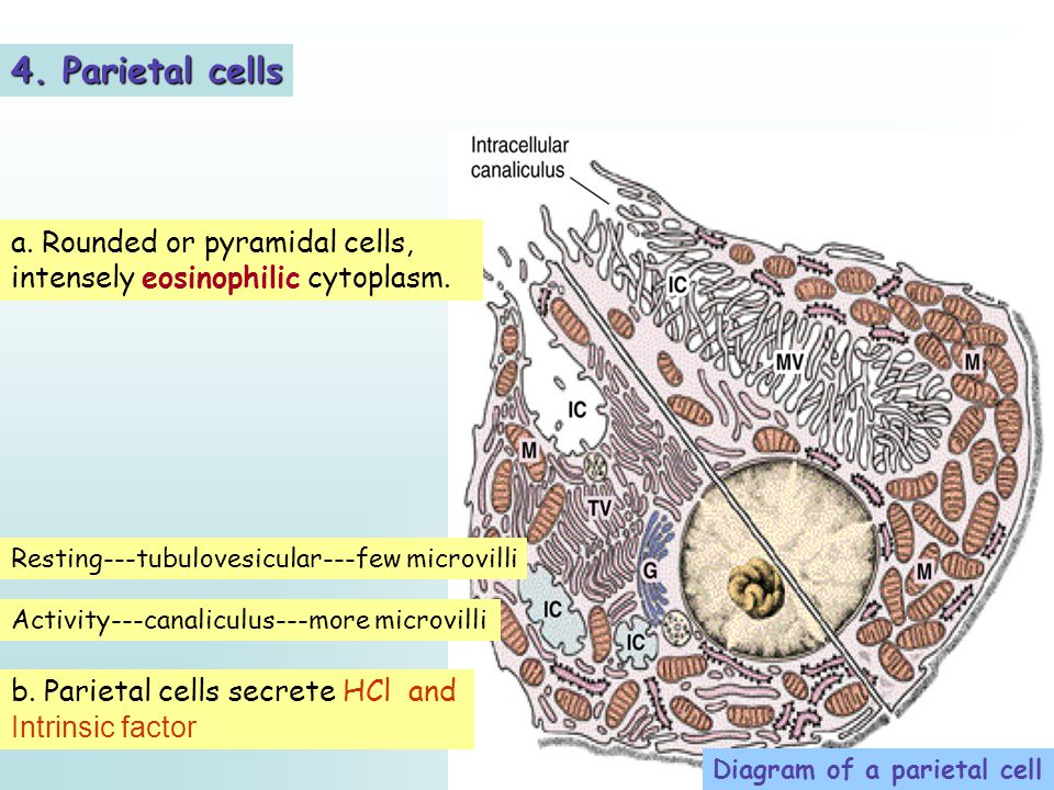 4. Parietal cells a. Rounded or pyramidal cells, intensely eosinophilic cytoplasm. Resting---tubulovesicular---few microvilli.