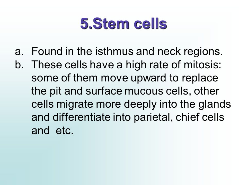 5.Stem cells Found in the isthmus and neck regions.