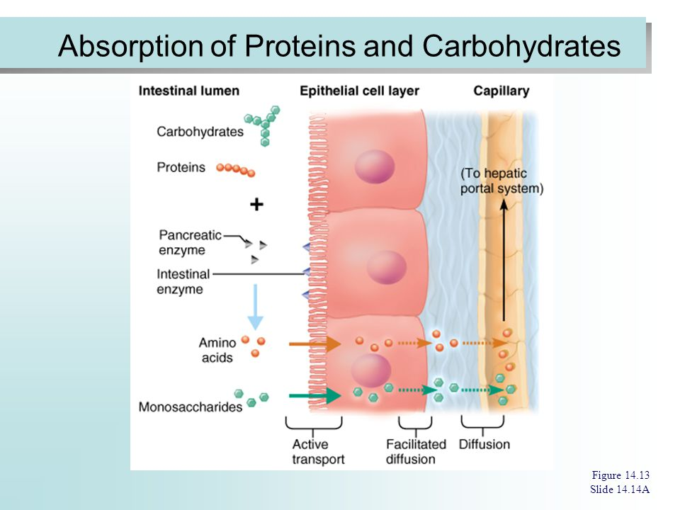 Absorption of Proteins and Carbohydrates