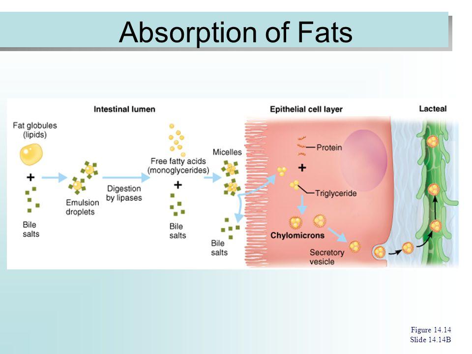 Absorption of Fats Figure 14.14 Slide 14.14B