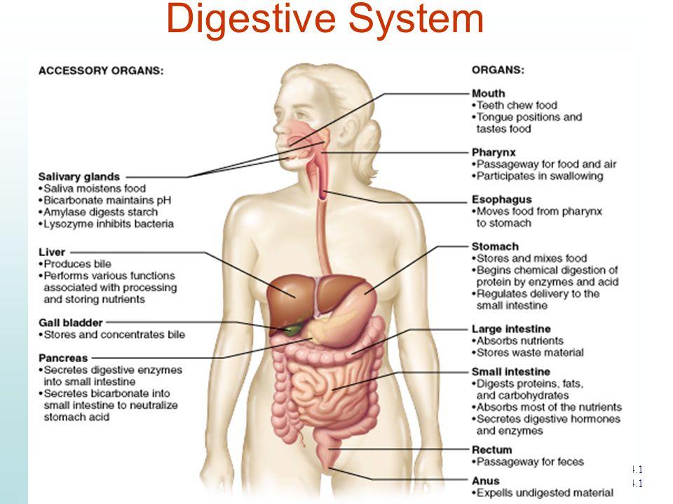 Digestive System Figure 14.1 Slide 14.1