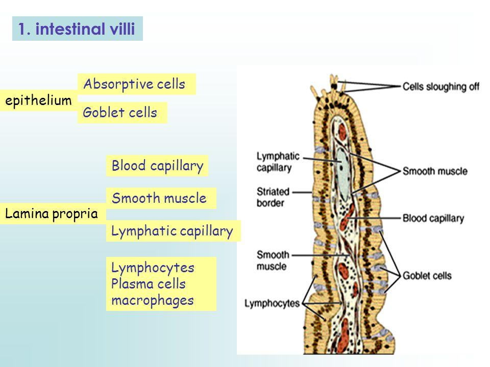 1. intestinal villi Absorptive cells epithelium Goblet cells