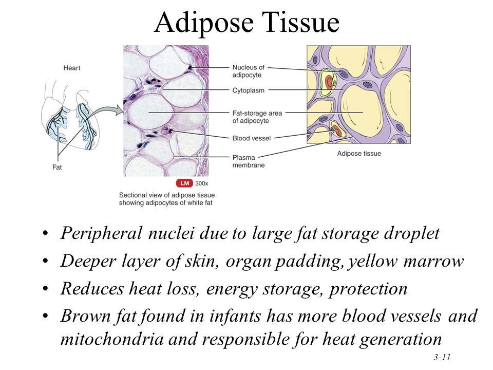 Adipose Tissue Peripheral nuclei due to large fat storage droplet