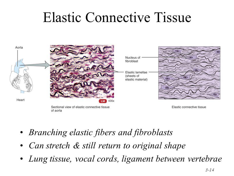 Elastic Connective Tissue