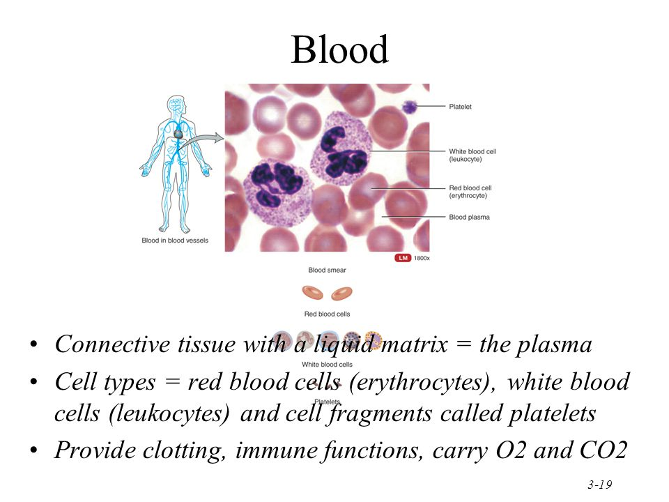 Blood Connective tissue with a liquid matrix = the plasma