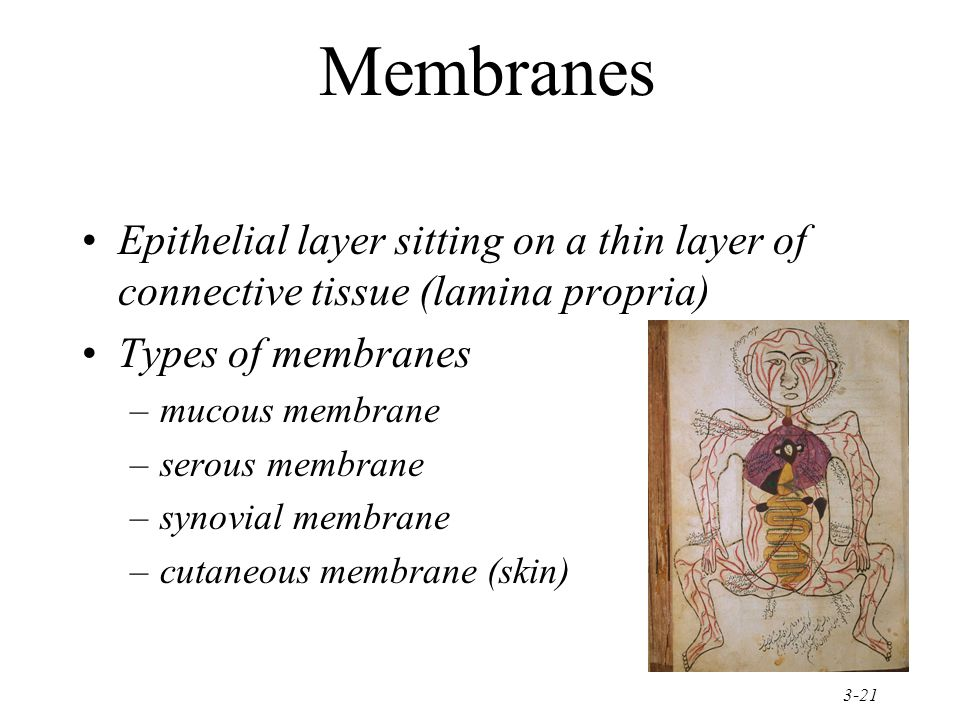 Membranes Epithelial layer sitting on a thin layer of connective tissue (lamina propria) Types of membranes.