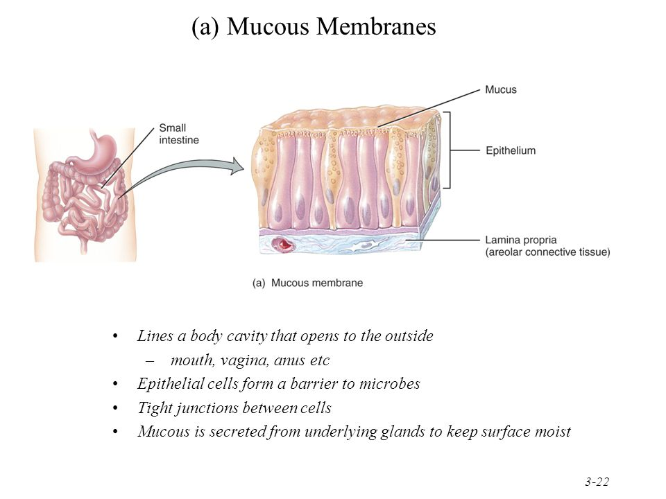 (a) Mucous Membranes Lines a body cavity that opens to the outside