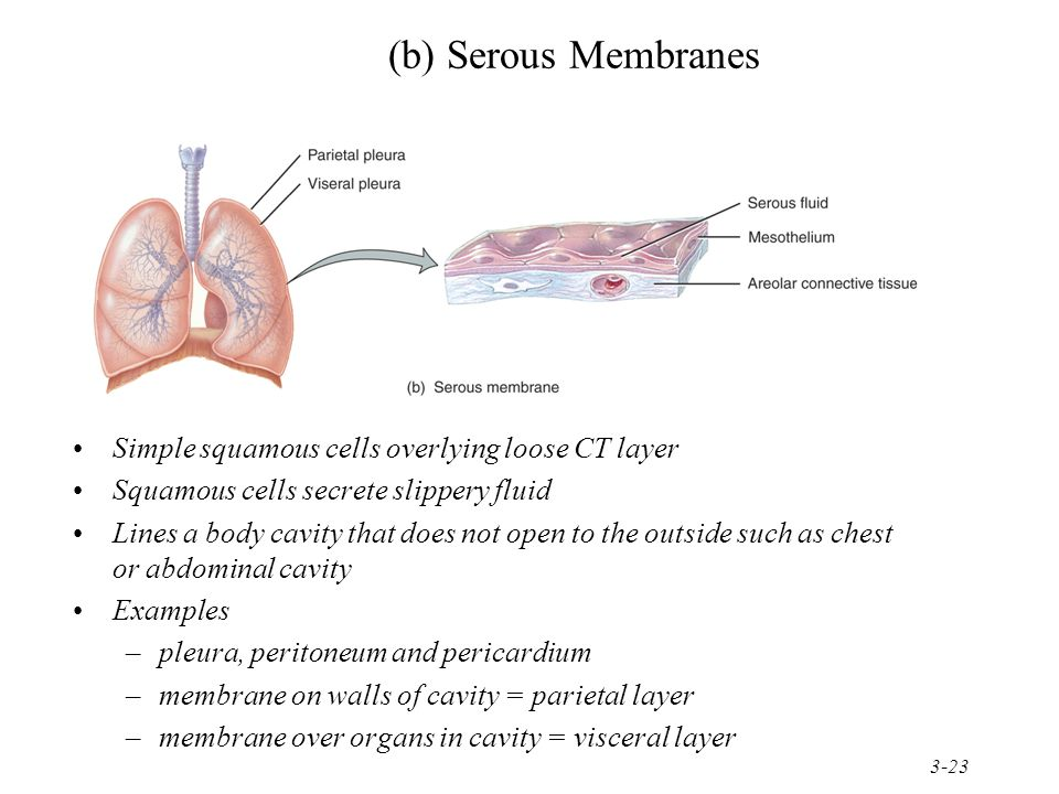 (b) Serous Membranes Simple squamous cells overlying loose CT layer