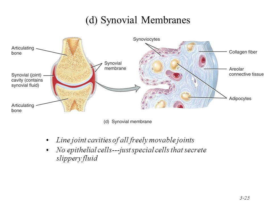 (d) Synovial Membranes