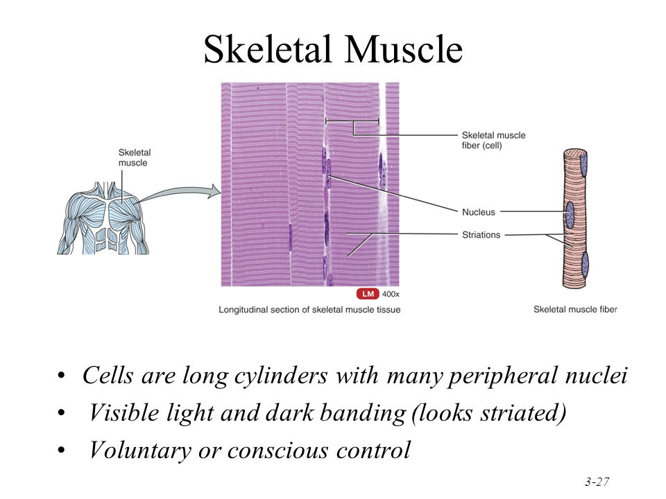 Skeletal Muscle Cells are long cylinders with many peripheral nuclei