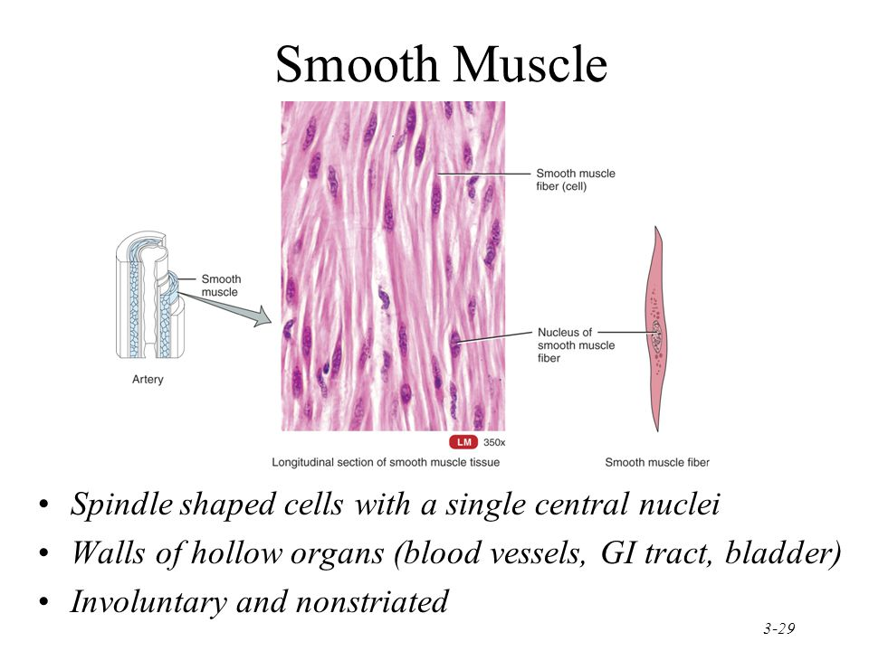 Smooth Muscle Spindle shaped cells with a single central nuclei