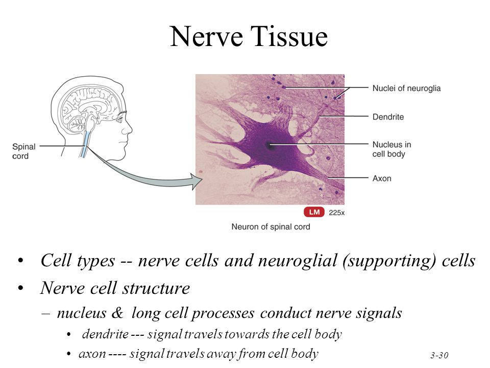 Nerve Tissue Cell types -- nerve cells and neuroglial (supporting) cells. Nerve cell structure.