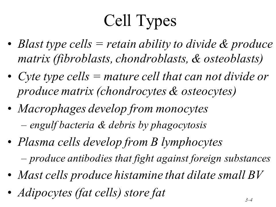 Cell Types Blast type cells = retain ability to divide & produce matrix (fibroblasts, chondroblasts, & osteoblasts)