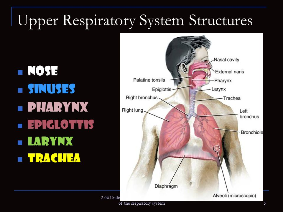 Upper Respiratory System Structures