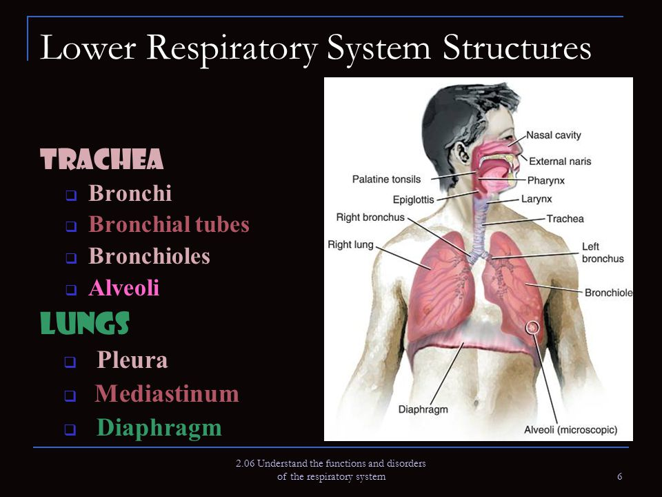 Lower Respiratory System Structures