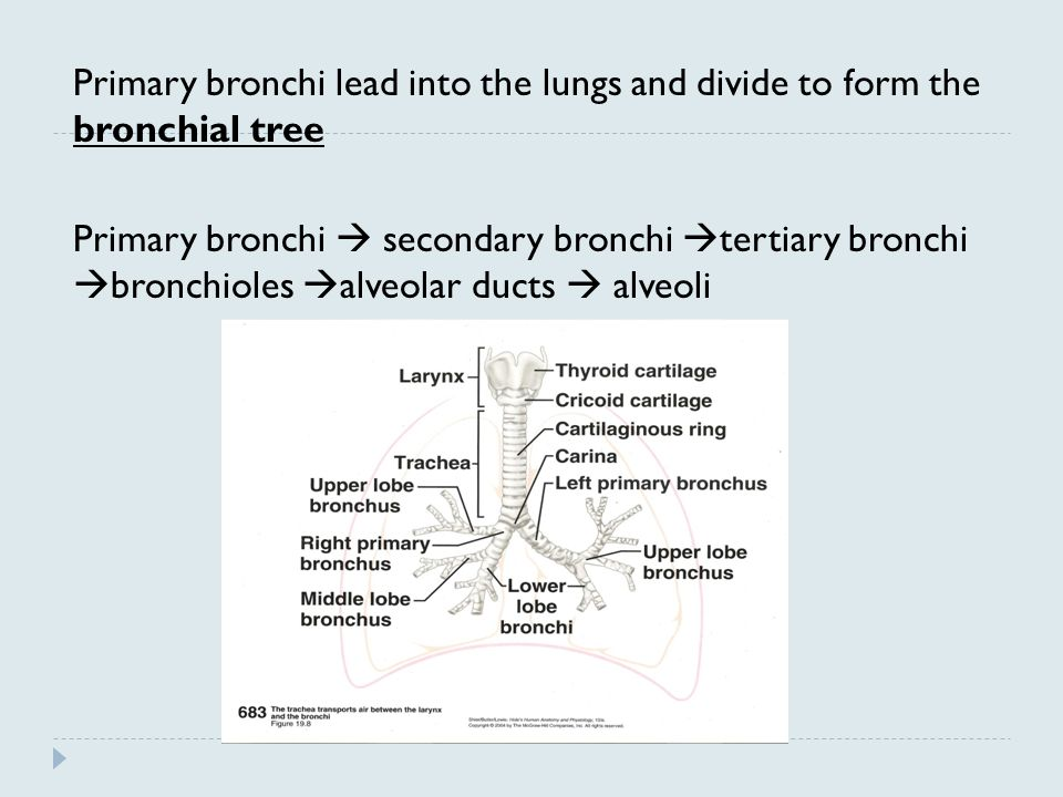 Primary bronchi lead into the lungs and divide to form the bronchial tree Primary bronchi  secondary bronchi tertiary bronchi bronchioles alveolar ducts  alveoli