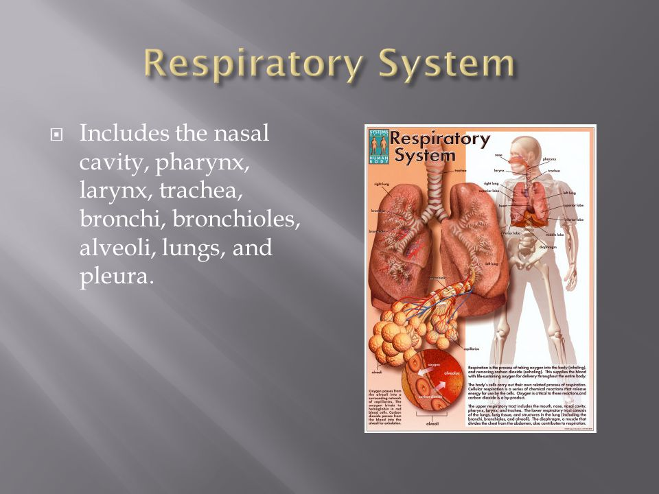 Respiratory System Includes the nasal cavity, pharynx, larynx, trachea, bronchi, bronchioles, alveoli, lungs, and pleura.