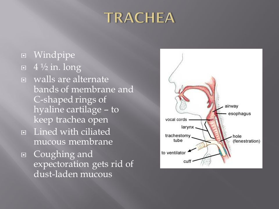 TRACHEA Windpipe 4 ½ in. long