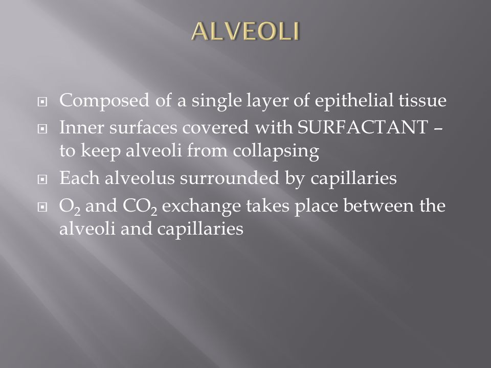 ALVEOLI Composed of a single layer of epithelial tissue
