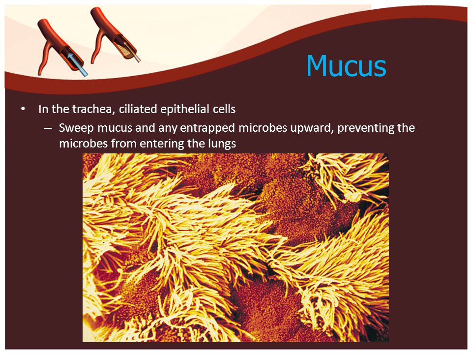 Mucus In the trachea, ciliated epithelial cells