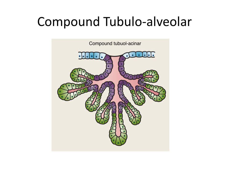 Compound Tubulo-alveolar