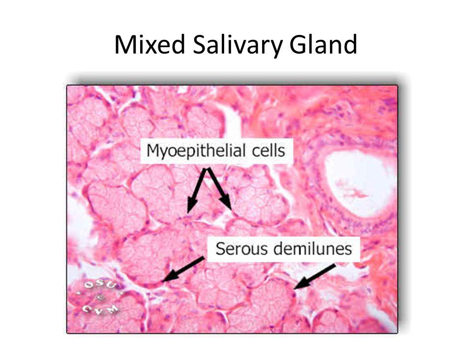 Mixed Salivary Gland